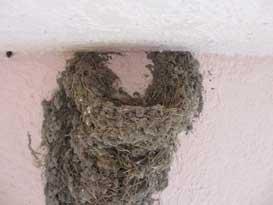 ツバメの巣のアップ